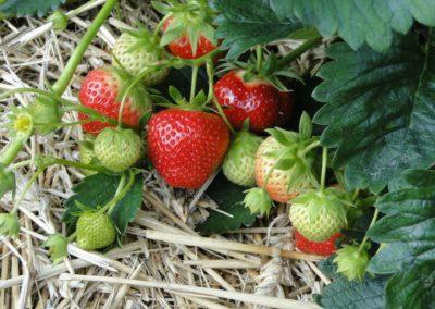 Bavorovské jahody na slámě